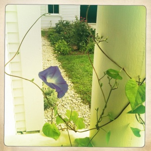 "Morning glory planted in honor of the poem ""The Death of the Hired Hand"""