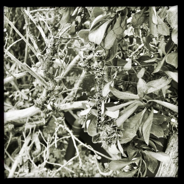a square format, black and white photo of a large dragonfly resting in a bush