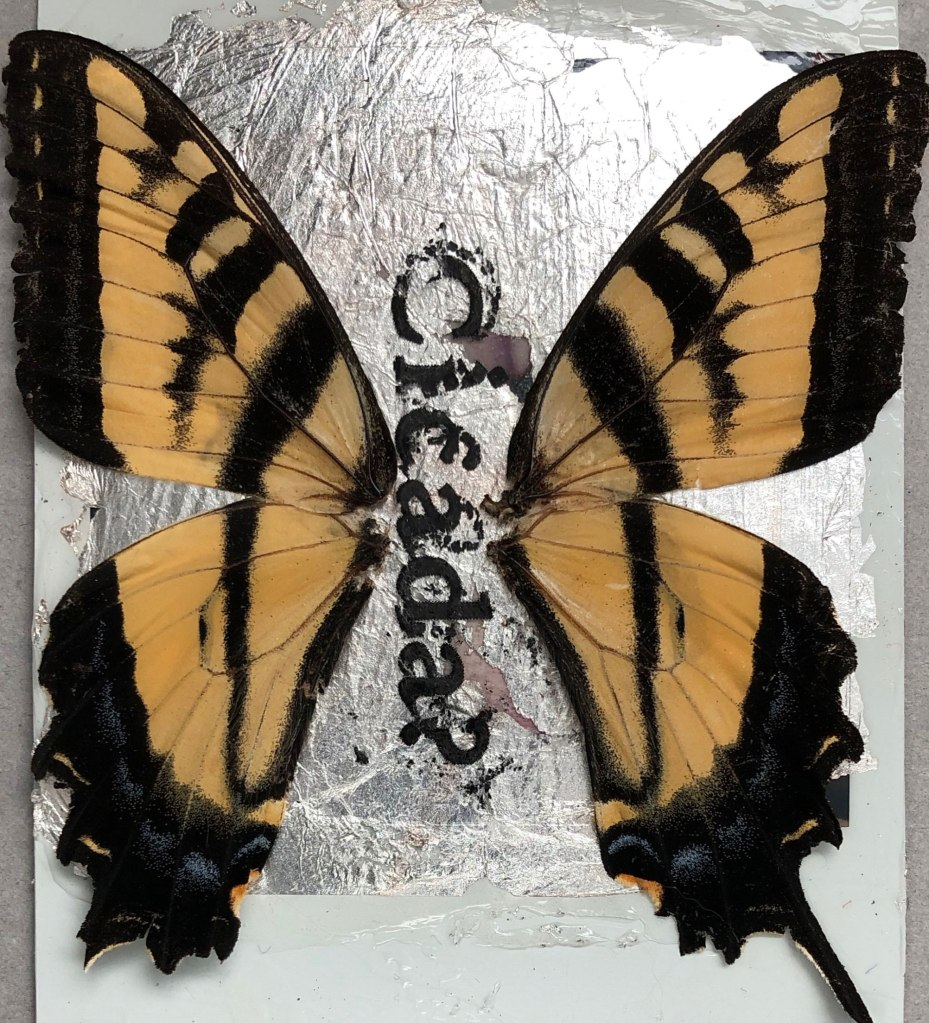 "Swallowtail butterfly wings surrounding the word ""cicada?"" in black type"